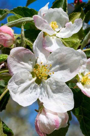 Beautiful flowers of the blossoming apple tree in the spring time Reklamní fotografie