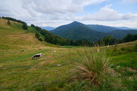 Herd of cattle grazing on a pasture in high mountains.Summer rural view of the cows in the paddock.Bright and juicy rustic landscape with cattle Reklamní fotografie