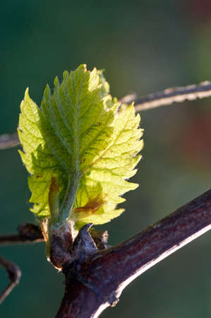 Young inflorescence of grapes on the vine close-up. Grape vine with young leaves and buds blooming on a grape vine in the vineyard. Spring buds sprouting
