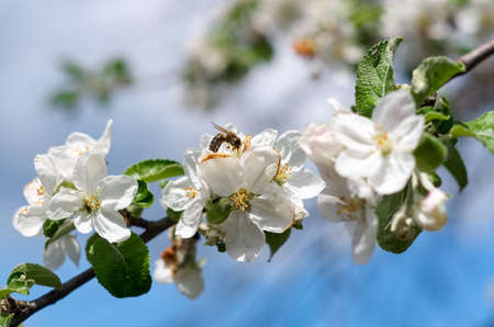 Bee on a spring flower collecting pollen and nectar.flying bumblebee at spring apple tree flowers background.Flower Bloom Nature Concept