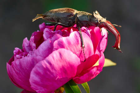 Close-up photo of big stag-beetle, deer beetle, on natural bright colorful background.The largest beetle of Europe