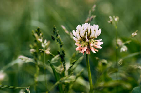 Close up of white clover flower blooming on green background.A selective focus picture of grass flower with insect and natural green blurred background