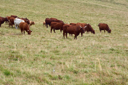 Cows grazing in mountain pasture 写真素材 - 138838391