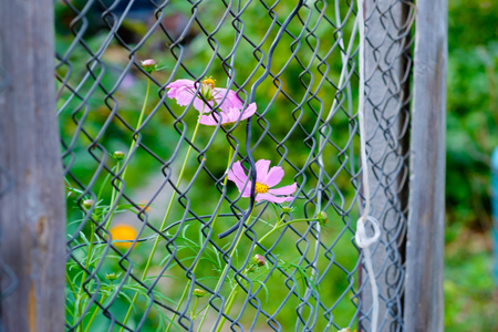 metal grid: Cosmos flower on a metal grid with garden background Stock Photo