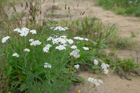 yarrow: Medicinal plant Siberian Yarrow Achillea millefolium . flowers closeup