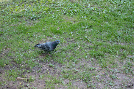 Gray pgeon walk on the ground in the park