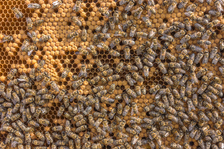 reproduction animal: Larvae of bees. Honeycombs are developing larvae of bees future generation of beneficial insects. Closeup