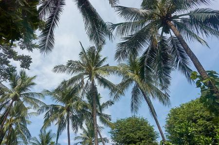 Coconut tree with bright sky, Coconut plantation, Samui, Thailand Stock Photo