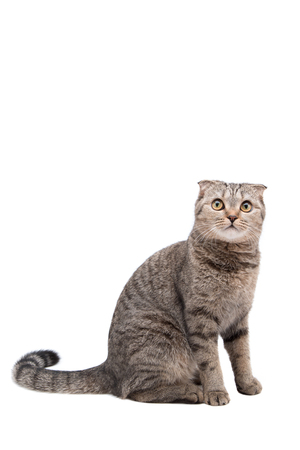 gray cat: Gray cat breed Scottish fold sits on a white background