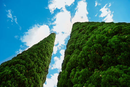 Two green cypress trees under blue sky. Banque d'images