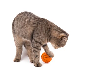 Gray cat playing with a small basketball. Isolate on white background.
