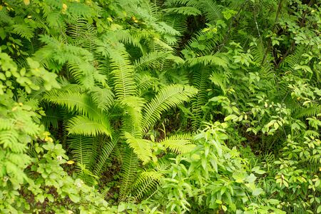 Green fern in the forest.