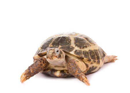 Tortoise isolate on white background.