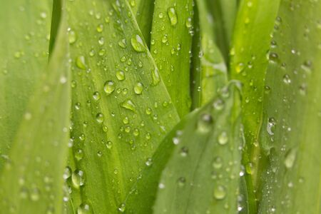 Green leaves with drops of water. Juicy greens. Stok Fotoğraf