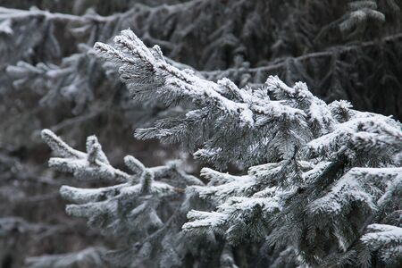 A branch of a Christmas tree covered in snow closeup. Stok Fotoğraf