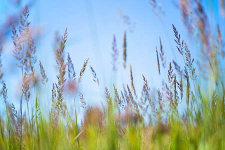 Tall grass in the field. Background from tall field grass.