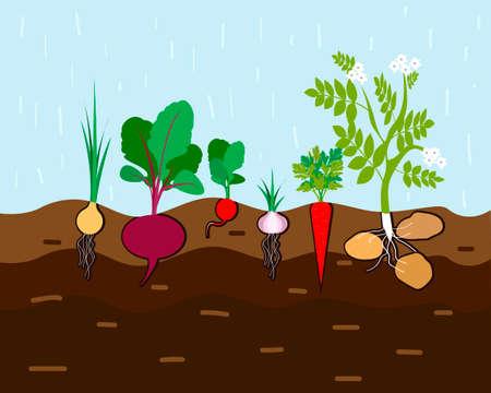 Frischer Bio-Gemüsegarten. Stellen Sie Gemüsepflanzen ein, die unterirdische Karotten, Zwiebeln, Knoblauch, Rettich, Rüben, Kartoffeln anbauen. Vektor-Illustration