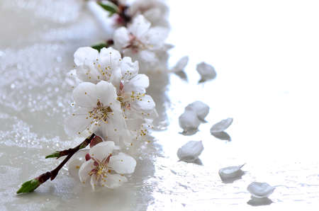 Branch of cherry blossom on wet surface, symbol of spring freshness beauty and purity, spa background Imagens