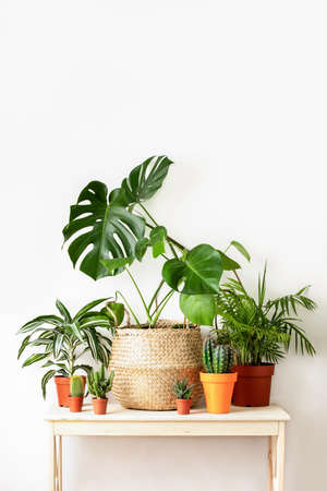 Home potted plants front view, home gardening concept or interior foliage decoration concept, minimalist front view image