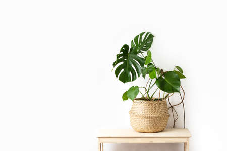 Monstera home potted plant front view, home gardening concept or interior foliage decoration concept, minimalist image with blank space for a text