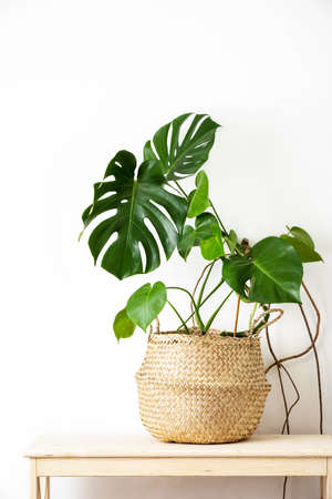 Monstera home potted plant front view, home gardening concept or interior foliage decoration concept, minimalist front view image