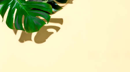 Summer tropical mockup with blank space for a text, top-down view of monstera leaves under direct sunshine light tracing strong contrast shadow