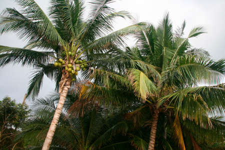 coconut trees tropical nature in thailand photo