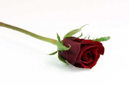 one red rose isolated on white background flowers and gifts Foto de archivo