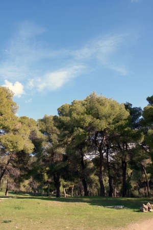 nature landscape pine tress forest for background photo