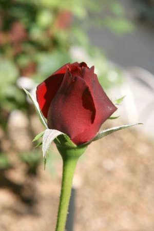 red rose bokeh: small red rose closeup defocus garden background Stock Photo