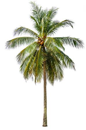 arboles frondosos: aislados de árboles de coco sobre fondo blanco