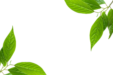 leaf isolate and white background
