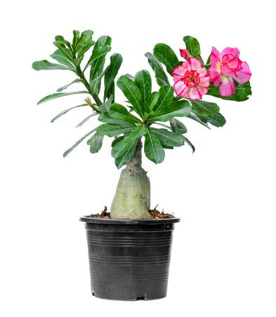 tree adenium on black pot isolated on white background