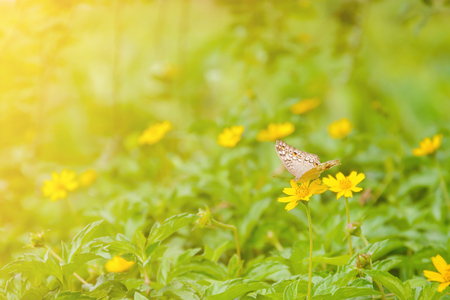 denver botanical gardens: Butterfly on yellow flowers nature background blur focus