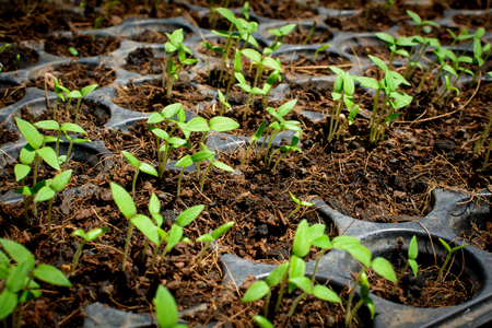cultivating: Seed growing  in a tray plant a tree and earth