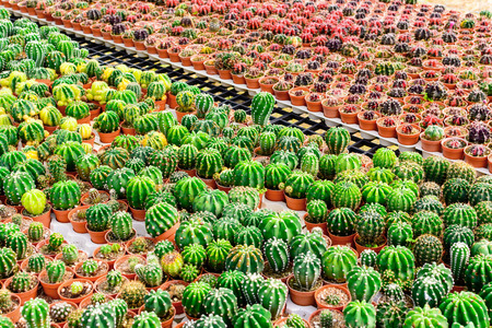 Cactus tree shop with breeding in the house for sale. selective focus