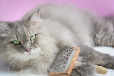 Brush the cat fur comb on a wooden table and gray persian cat. Enjoy and happy the pink wall background.selective focus Stock fotó