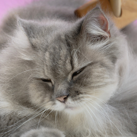gray cat: Brush the cat fur comb on a wooden table and gray persian cat. Enjoy and happy the pink wall background.selective focus Stock Photo
