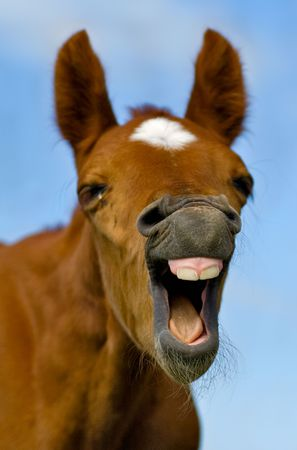 horse laugh: Horse with mouth open looking like. It with a very funny expression on his face as if he is laughing Stock Photo