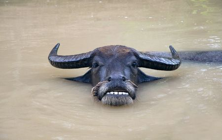adult vietnam: Adult bull resting in pond in Vietnam . Looking At Camera Stock Photo