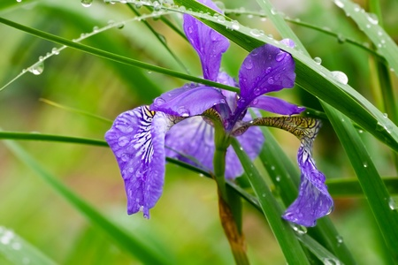 sibirica blue iris flower and grass with water  photo
