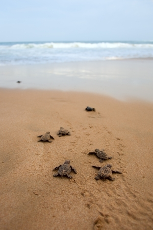 Loggerhead sea turtle emergence: the turtles emerge in a group and proceed to crawl down the beach to the water  photo