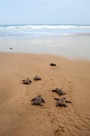 tortuga: Tortuga caguama emergencia: las tortugas emergen en un grupo y proceder a arrastrarse por la playa con el agua