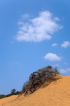 landscape with  dead tree in sand and cloudy skies near beach  arugam bay, sri lankan photo