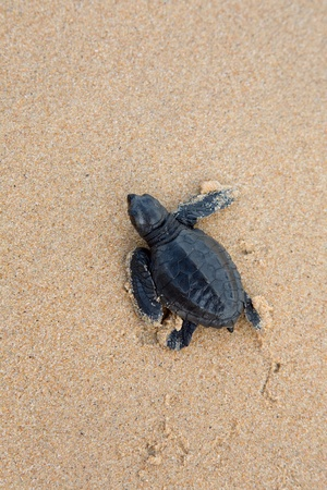 give out: turtles give birth and get out from sand  Stock Photo