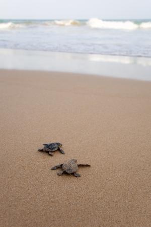 schildkr�te: Gegen den Ozean. Frisch geschl�pfte Baby-Schildkr�ten in Eile im Element Wasser Lizenzfreie Bilder