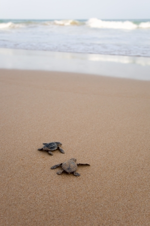 Toward the ocean. Newly hatched baby turtles in a hurry in the watery element  photo