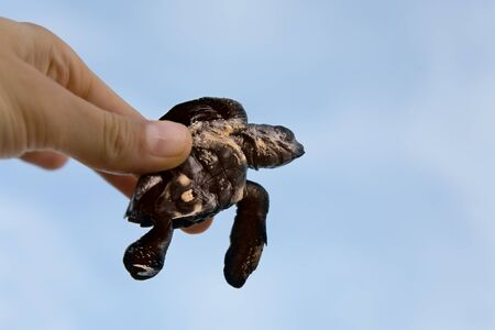 Hatchling Loggerhead  a baby inhand against sky, sri lanla island photo