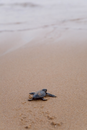 newly: Newly hatched baby Loggerhead  turtle toward the ocean  Stock Photo