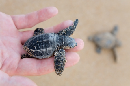 emergence: Hatchling Loggerhead  a baby on palm, sri lanla island